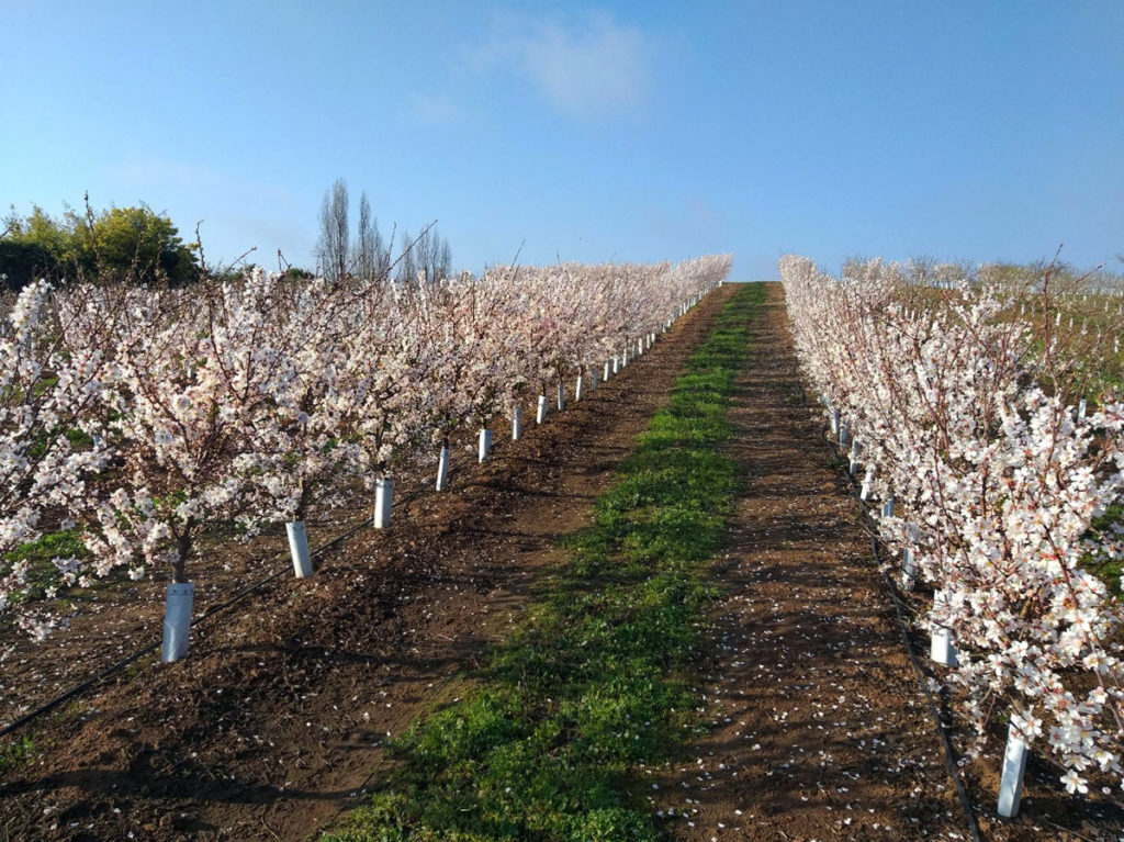 Floración de los almendros en Septiembre 2020 en el campo de Via Wines, San Rafael, Maule.