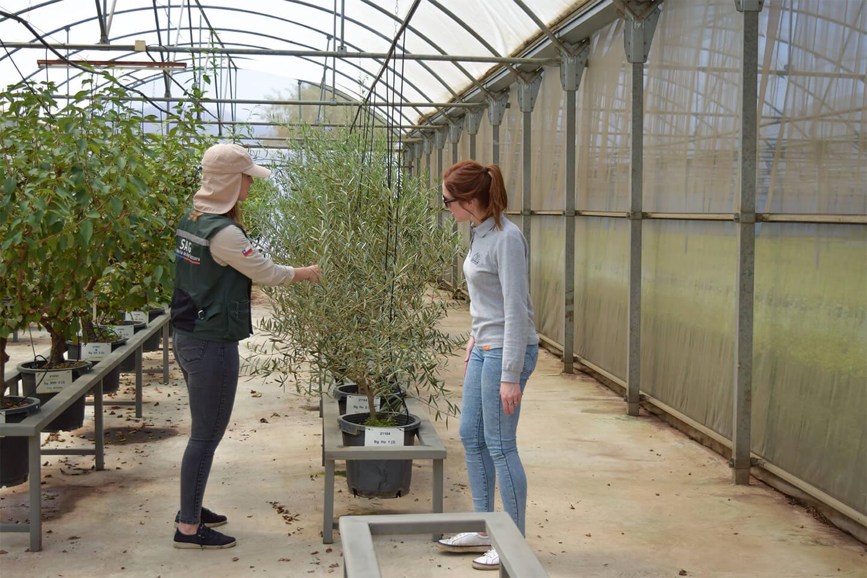 Certificación Fitosanitaria Y Varietal De Cerezos Agromillora Sur