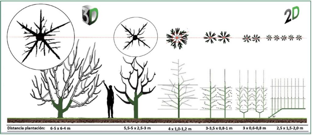 Figura 3B. Evolución de los sistemas de formación en ciruelo en las últimas décadas, desde las formas en volumen o 3D a las planas o 2D como el eje, bieje y multilíder. En la parte superior proyección horizontal de la copa, en la inferior marcos de plantación asociados.