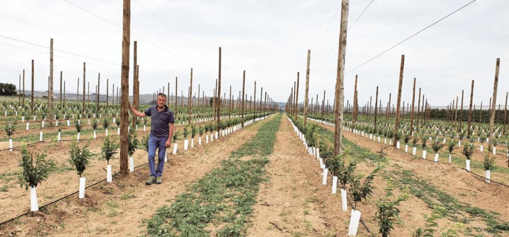 nueva plantación y detalle del doble eje s en su primer verde en la zona de Lleida (Fruites Font), con la variedad 'Lovita', patrón Mirobolán 29C, con estructura de soporte para las mallas antigranizo y marco de plantación de 3,8 x 1,2 m.