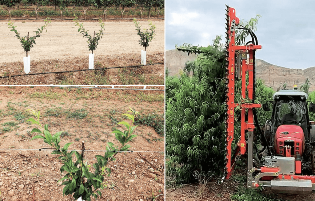 Figura 4. Arriba y a la izda., nueva plantación y detalle del doble eje s en su primer verde en la zona de Lleida (Fruites Font), con la variedad 'Lovita', patrón Mirobolán 29C, con estructura de soporte para las mallas antigranizo y marco de plantación de 3,8 x 1,2 m. A la dcha., detalle de la mecanización de la poda en verde (lateral y topping) con este tipo de plantaciones.