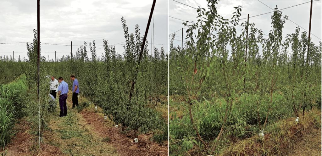 Figura 5. Plantación ecológica en doble eje de la variedad 'Pixy®'/Rootpac®20 en su segundo año en California (EE. UU.). Marco de plantación 2,8 x 1,5 m.