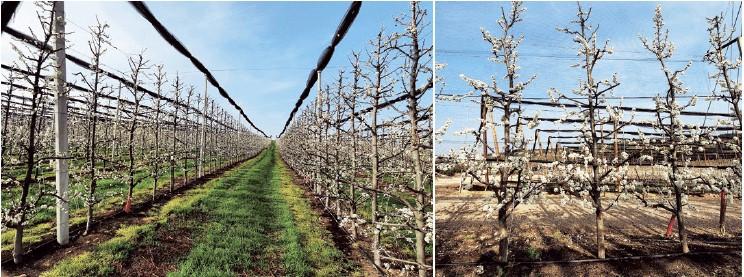 Figura 6A. Arriba, plantación de ciruelo japonés en el Valle del Ebro en su quinto año, con sistema de formación en eje central, patrón Mirobolán 29C y marco de plantación 4,0 x 1,0 m. Abajo, se observan las numerosas ataduras de ramas en árboles jóvenes de 2 años para su posicionamiento horizontal.