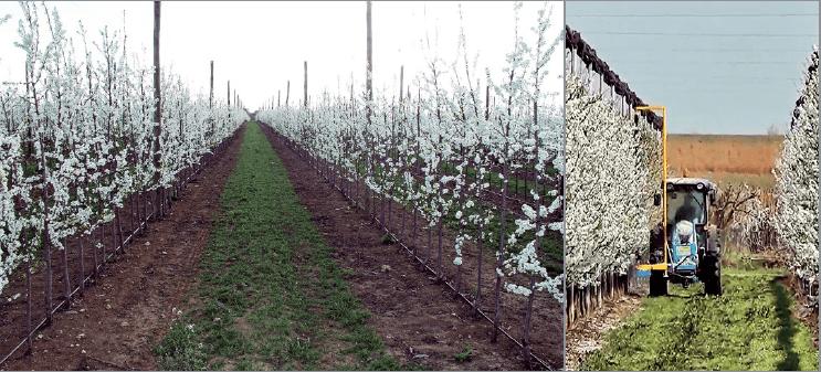 Figura 6B. Plantación de ciruelo japonés en Mauguio (Francia) con patrón Mirobolán 29C en su segundo año de plantación a 3,5x1,0 m (izda., foto: Gradilis). A la dcha., mecanización del aclareo de flores mediante el uso del Darwin en plantación adulta.
