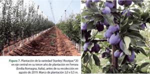 Figura 7. Plantación de la variedad 'Stanley'/Rootpac®20 en eje central en su tercer año de plantación en Ferrara (Emilia Romagna, Italia), antes de su recolección en agosto de 2019. Marco de plantación 3,0 x 0,5 m.