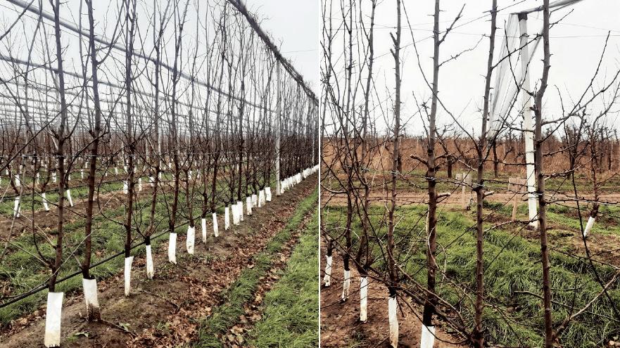 Figura 8. Variedad 'Stanley'/Rootpac®20 en eje central al final de su tercer año de plantación en Banat (Serbia), antes (izda.) y después (dcha.) de la poda de invierno. Marco de plantación 3,0 x 0,5 m.