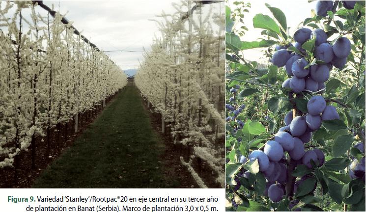 Figura 9. Variedad 'Stanley'/Rootpac®20 en eje central en su tercer año de plantación en Banat (Serbia). Marco de plantación 3,0 x 0,5 m.