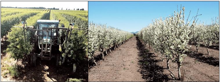 Poda en verde en árboles adultos (arriba izda.) y vista general de árboles en floración en su sexto año (arriba dcha.).