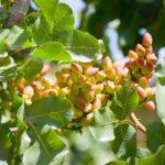Jornada del Pistacho en tomelloso - Agromillora Olint