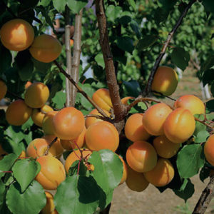 Apricot agromillora