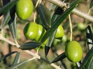 olive-picholine